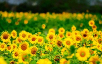 yellow,sunflowers