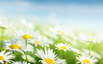 White,background,Camomile