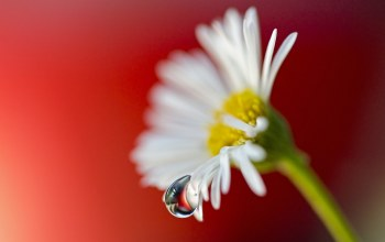 White,daisy,background,flower,Red
