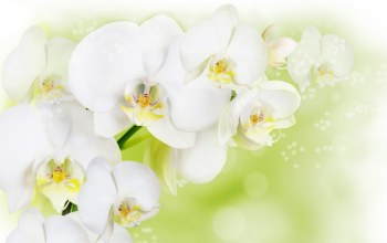 White,cool,Orchid