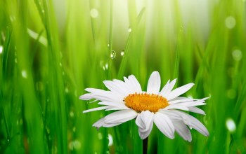 grass,Camomile,flower,White,background