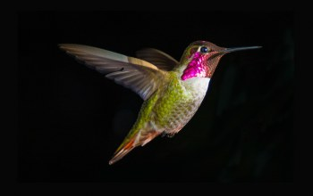 hummingbird,flight,close,mid