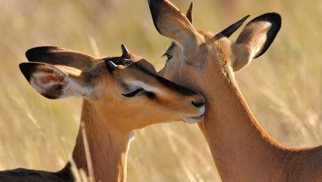 Animal,african,antelope,cute