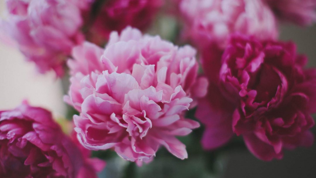 photography,peonies,flower
