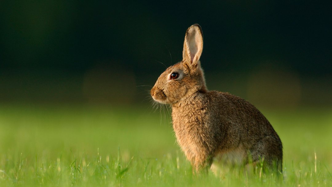 grass,wild,Rabbit