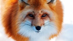 cute,so,Fox,Face