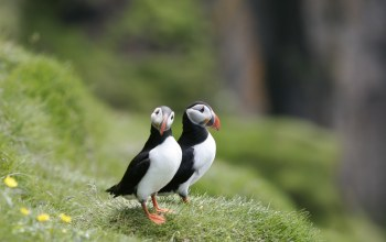 puffins,Birds,beautiful
