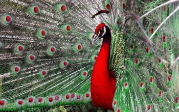 Red,Peacock