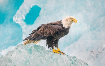 sitting,eagle,hill,White,head