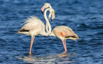 Birds,couple,Flamingo