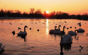 swan,Sunset,White,Birds