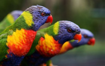 lorikeet,rainbow,beautiful,Birds