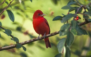 tanager,Red,summer
