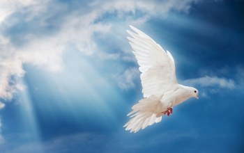 White,flyling,Dove