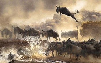 migration,Wildebeest