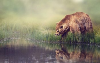 Animal,Grizzly