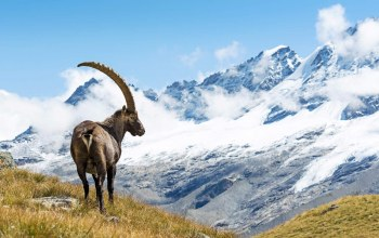 alpine,ibex,Animal