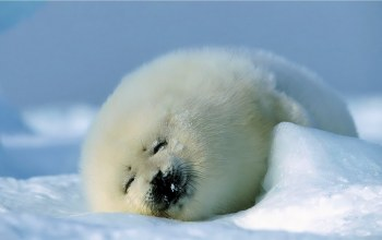 fur,White,cute,seal,baby