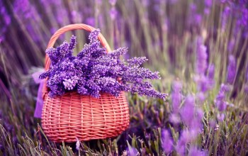 Purple,basket,flower,lavender