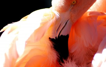 Flamingo,cute