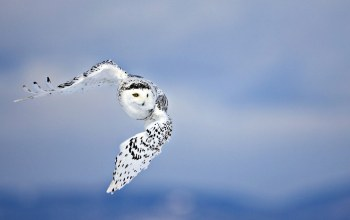 Owl,flying