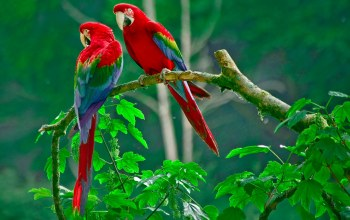 couple,parrot,Birds