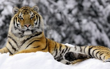 winter,Tiger
