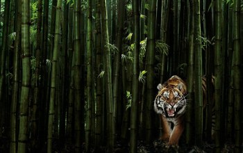 Tiger,Animal,forest