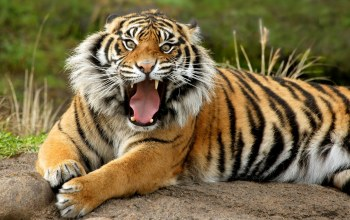 roar,angry,Tiger