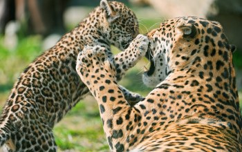 cub,mother,Jaguar,fighting