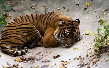sleeping,Tiger