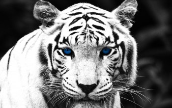 White,eyes,Tiger,blue