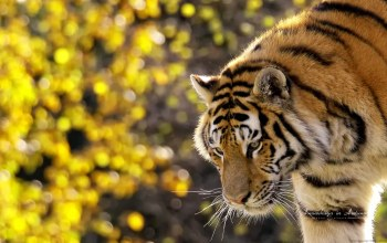 Tiger,beautiful