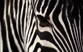 zebra,stripe,White