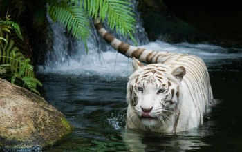river,wild,Tiger,White