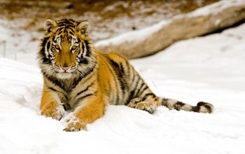 Tiger,snowy,Afternoon