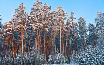 winter,frost,иней,snow,forest,trees