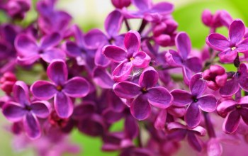 lilac,flower,Purple,cute