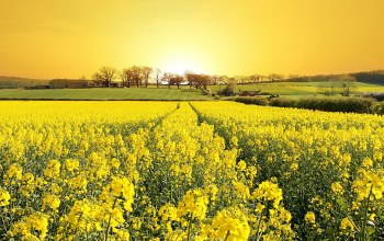 Sunset,canola,summer,field