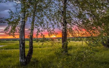 birch,Sunset,березы