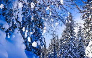 branches,ветви,snow,forest