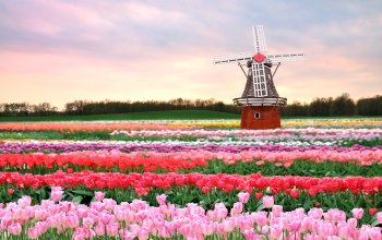 windmill,Holland,tulips