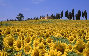 field,sunflower,Tuscany,italy