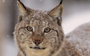 feline,Snow lynx,beautiful