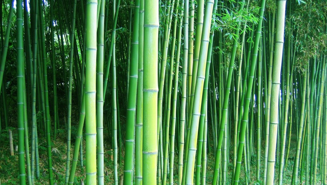 trees,Bamboo,est