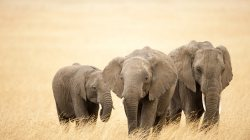 family,elephant,african