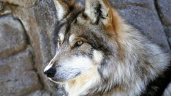 wolf,Face