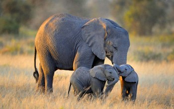 elephant,family,african