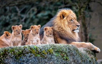 family,Lions,baby