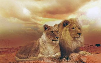 Lions,femle,male